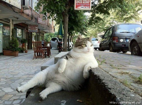 картинка дня толстый кот (604x450, 234Kb)