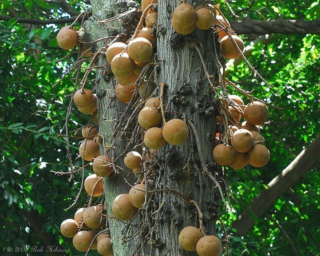 пушечное дерево фото 1 (640x512, 178Kb)