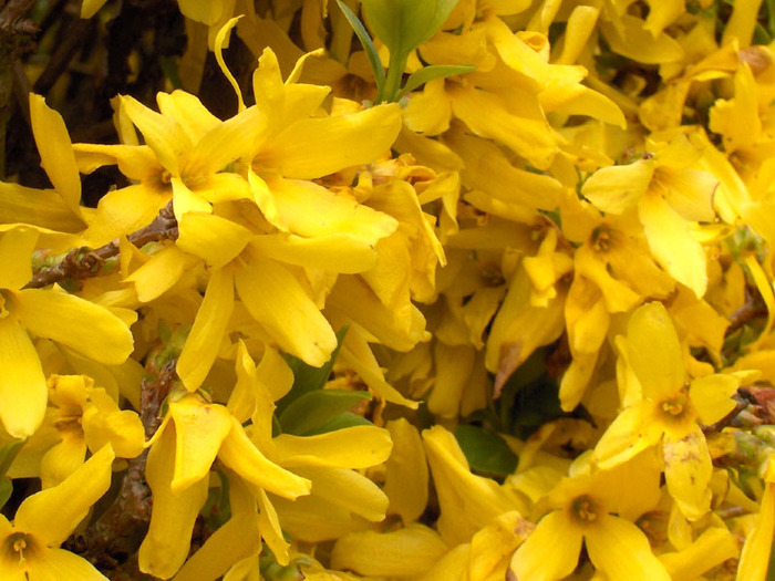 Forsythia.x.intermedia04 (700x525, 137Kb)
