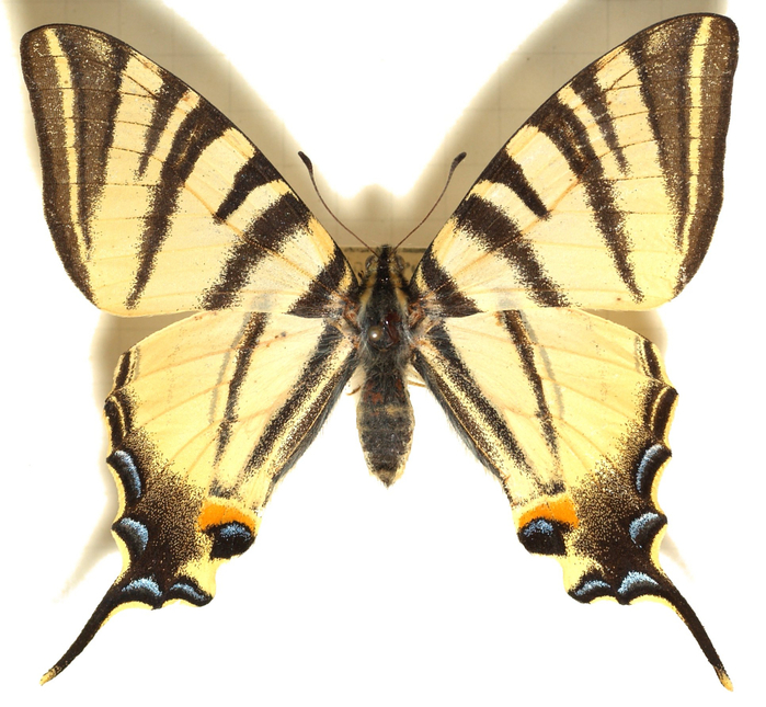 бледно-желтый (700x645, 406Kb)