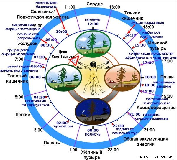 БИОЛОГИЧЕСКИЕ ЧАСЫ таблица (600x543, 264Kb)