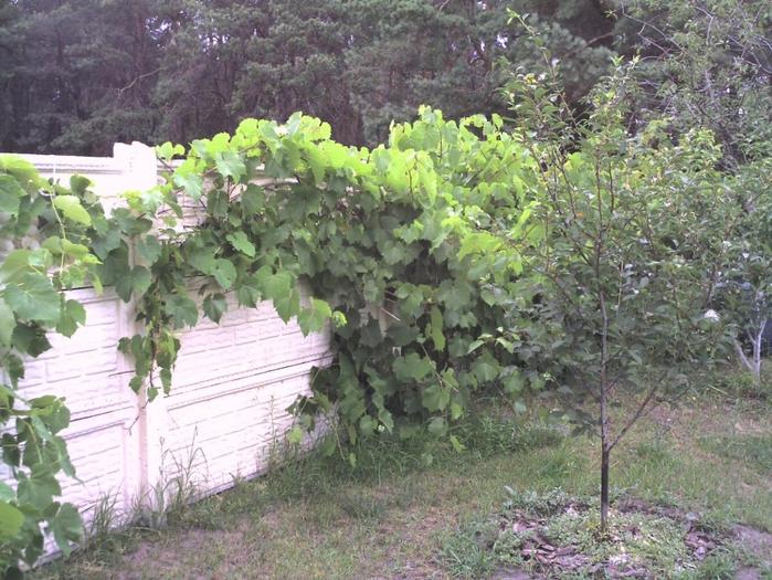 виноград (700x525, 345Kb)