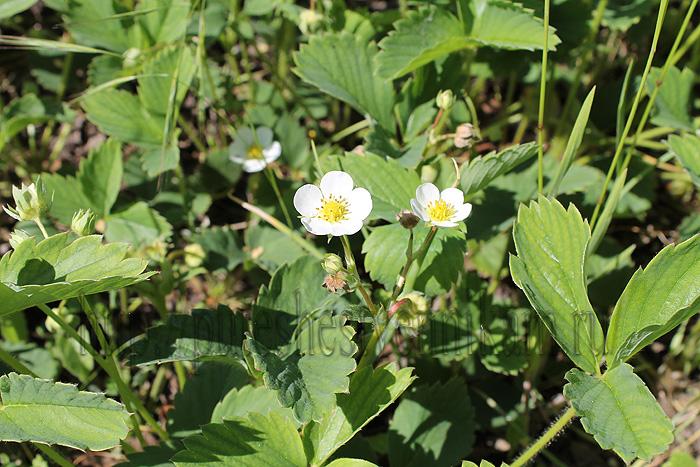 Красивые летние цветы11 (700x467, 220Kb)
