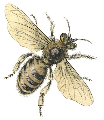 Honey-Bee-Stock-Image-GraphicsFairy (345x400, 59Kb)
