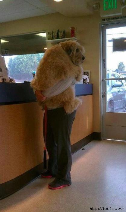 Собака боится ветеринара, как ребенок стоматолога. (418x700, 145Kb)