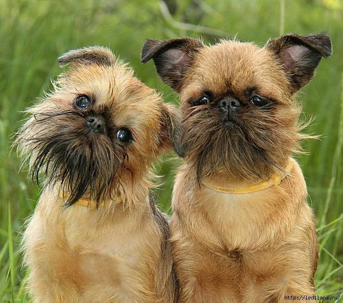 животные собаки- (700x619, 303Kb)
