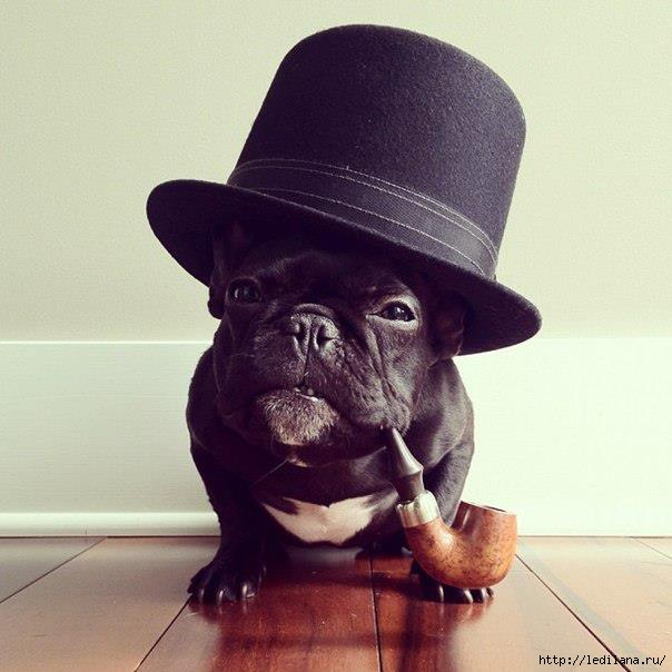 животные собака в шляпе (604x604, 135Kb)
