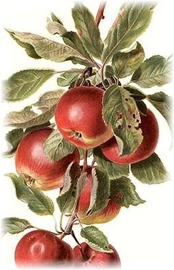 applescrop (253x391, 53Kb)