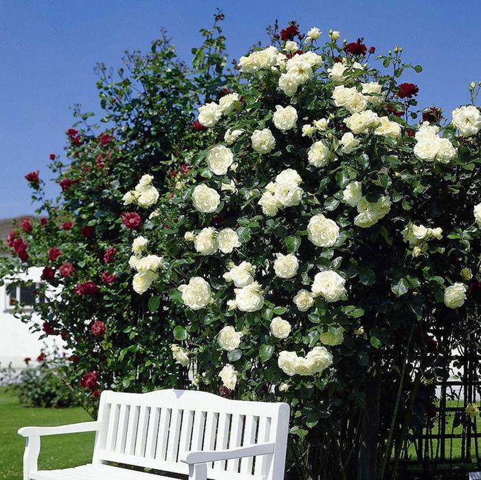 Роза плетистая айсберг отзывы 3