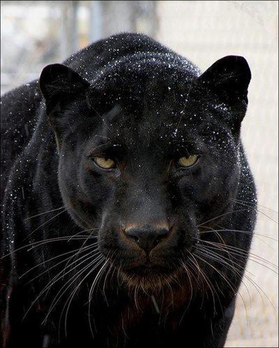 Фотографии черной пантеры 8