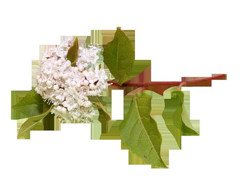 Белая черёмуха из кинофильма цвет черёмухи