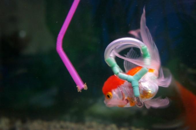 золотая рыбка фото (680x452, 44Kb)