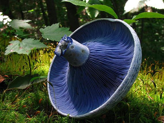 ложные грузди грибы фото