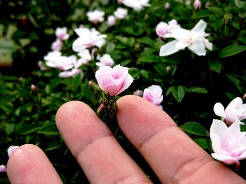 самая маленькая в мире роза фото 1 (500x375, 95Kb)
