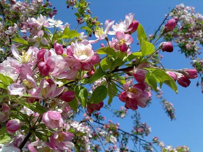 Яблоня в цвету в живописи