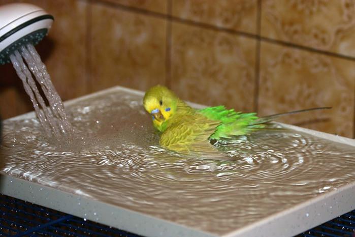Попугаи корелла купание