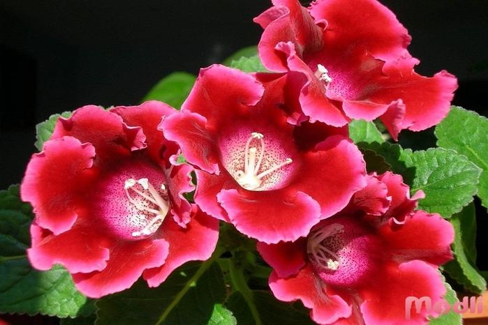 Комнатное растение глоксиния фото