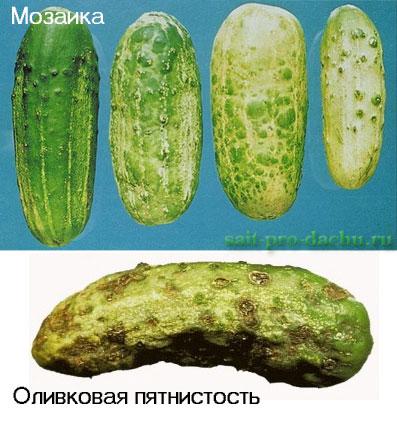 bolesni-ogurcov2-8 (397x422, 54Kb)