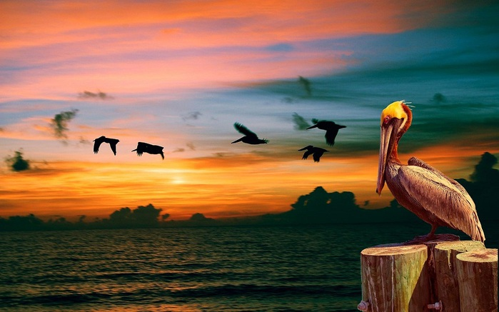 birds-pelican-photo-wallpaper-1920x1200 (700x437, 93Kb)