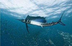 Рыба парусник (300x194, 32Kb)