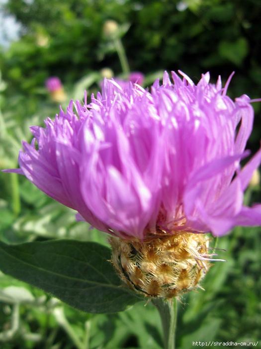 дача, цветы, май (1) (525x700, 255Kb)