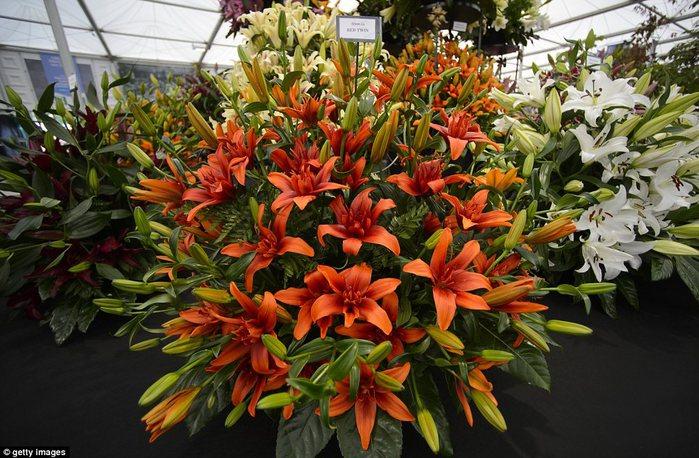 Chelsea Flower Show 2013 1 (700x458, 101Kb)
