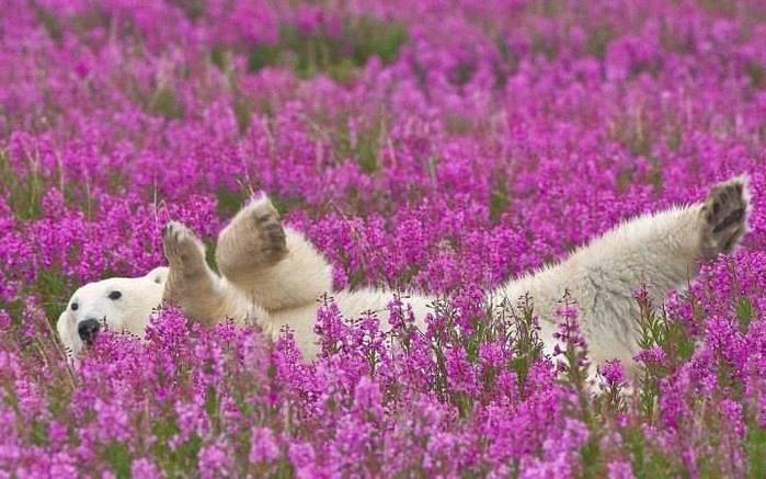 Полярный мишка играется в цветах на острове Таймыр, Россия (700x437, 59Kb)