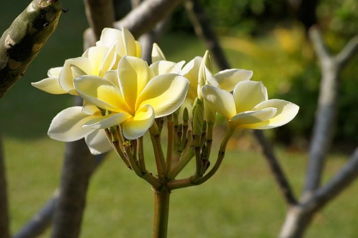 цветы тая (700x466, 59Kb)