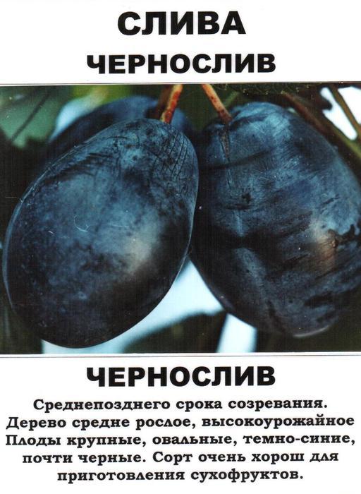 sliva_chernosliv (512x700, 58Kb)