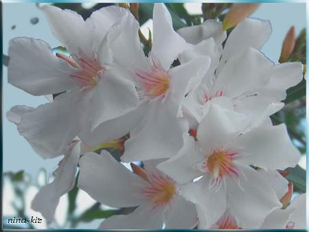 Белые-цветы (450x338, 185Kb)