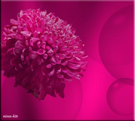 Малиновая-хризантема (450x403, 185Kb)