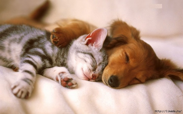 pup-kitten (700x437, 132Kb)