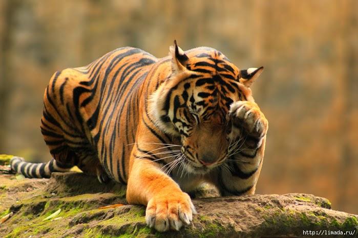 Тигра ... (699x466, 203Kb)