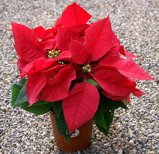 Рождественский цветок картинки 8