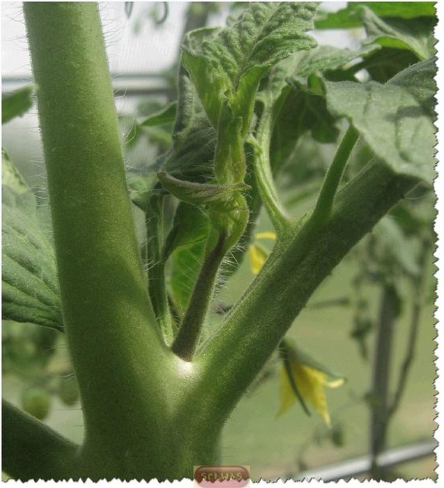 Как пасынковать помидоры/4683827_20130528_183706_2_ (637x700, 304Kb)