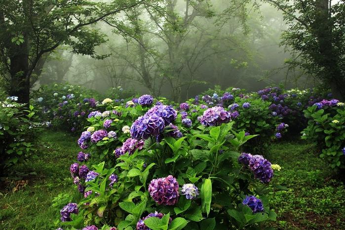 Японский сад гортензий (700x466, 346Kb)