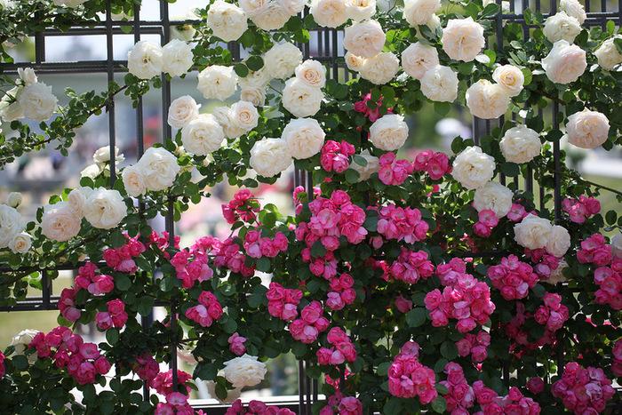 Плетистые розы непрерывного цветения 2