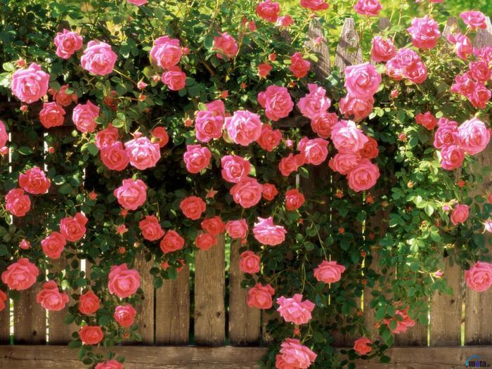 Живая цветы изгородь