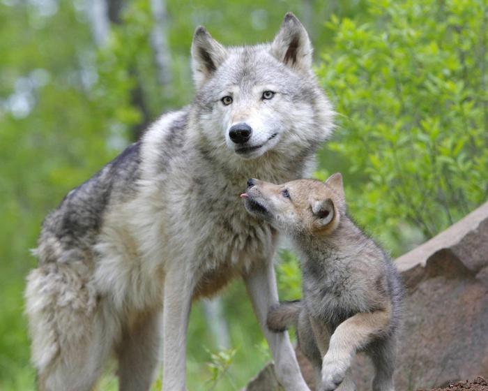 волчица (700x560, 48Kb)