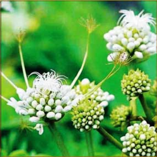 Пол-пала - целебная трава sostinas.com