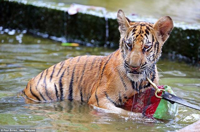 Храм Тигров в Таиланде. Фотографии