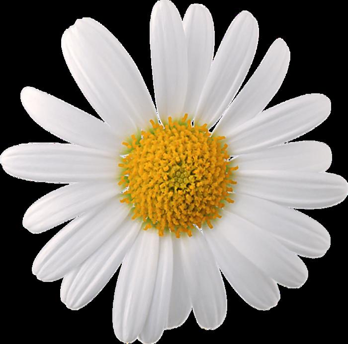Картинка цветок ромашка для детей 6
