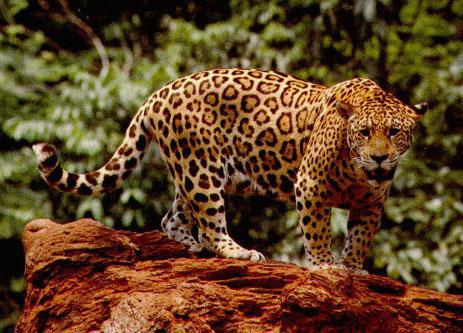 животные тропических лесов.jpg5 (463x333, 72Kb)