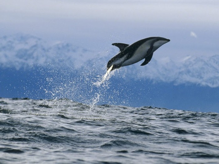 1024_Dusky Dolphin, New Zealand (700x525, 102Kb)