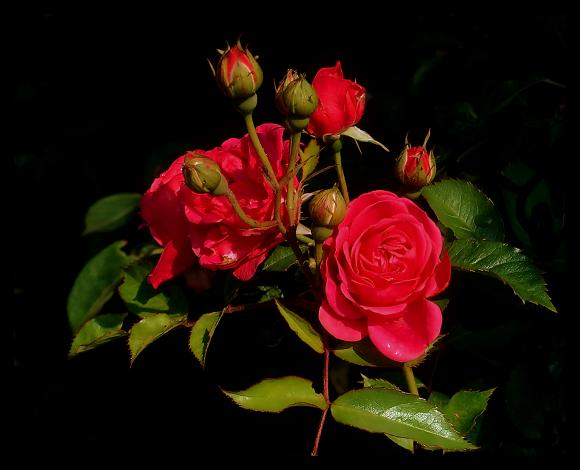 beautiful_rose3 (580x470, 29Kb)