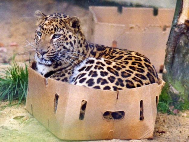 3185107_leopard_foto (625x469, 117Kb)