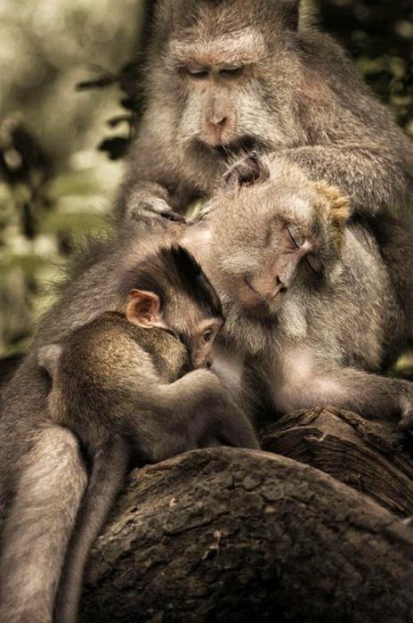 обезьяны-1 (464x699, 111Kb)