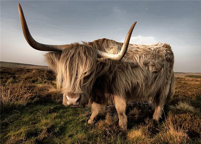шотландские высокогорные коровы/4552399_shotlandskie_korovi_foto_4 (700x502, 73Kb)