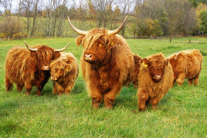 шотландские высокогорные коровы/4552399_shotlandskie_korovi_foto_6 (700x466, 104Kb)