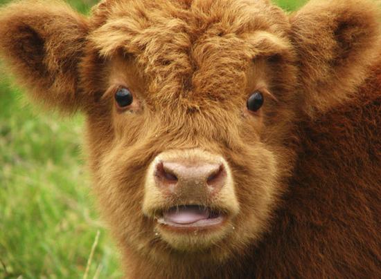 шотландские высокогорные коровы/4552399_shotlandskie_korovi_foto_8 (550x404, 225Kb)
